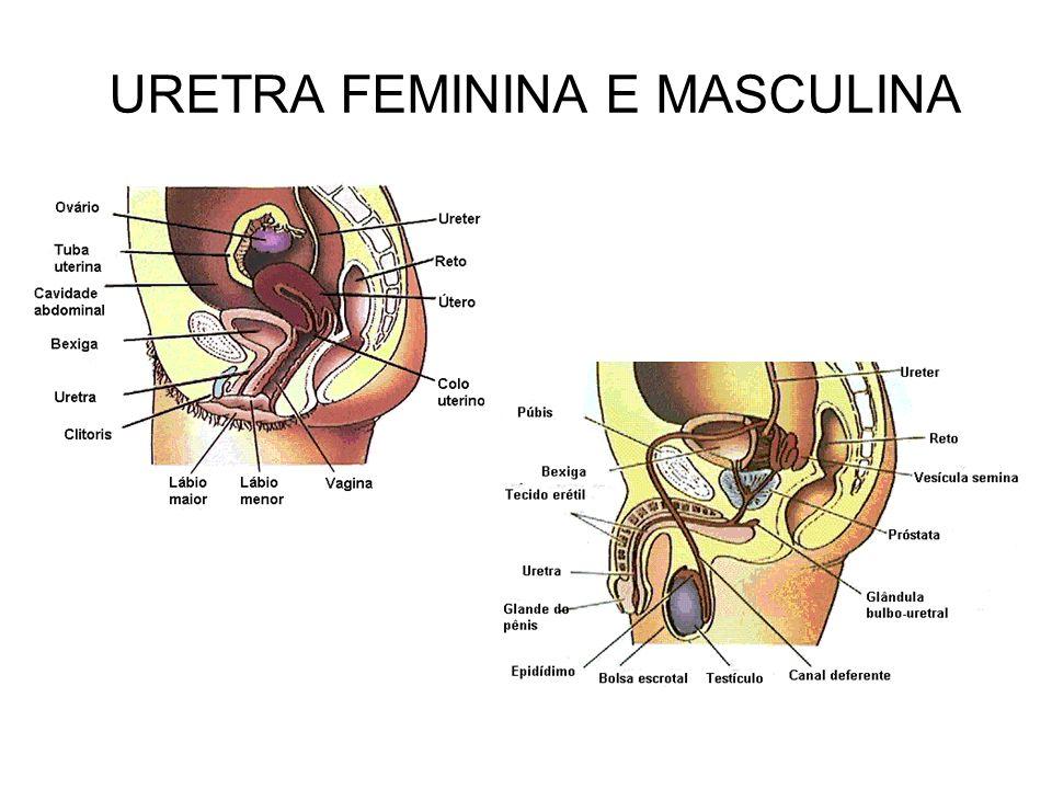 URETRA FEMININA E MASCULINA
