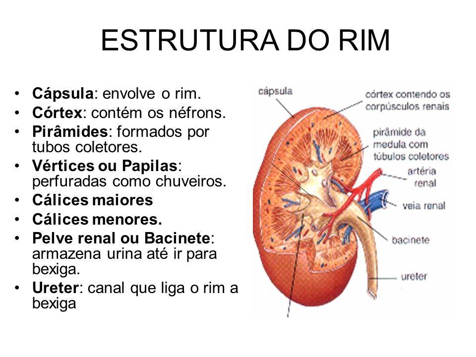 ESTRUTURA DO RIM Cápsula: envolve o rim. Córtex: contém os néfrons.