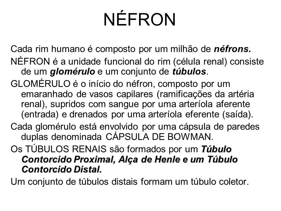 NÉFRON Cada rim humano é composto por um milhão de néfrons.
