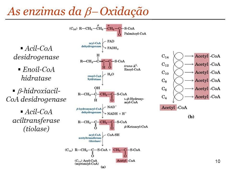 As enzimas da b- Oxidação
