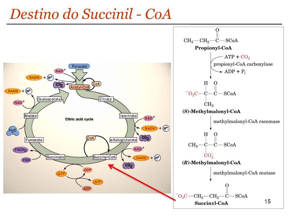 Destino do Succinil - CoA