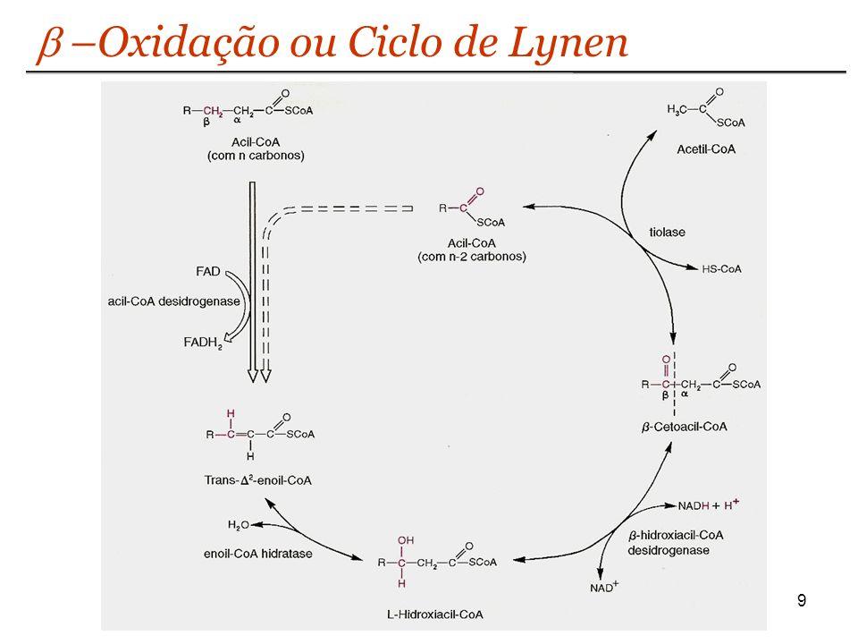 b –Oxidação ou Ciclo de Lynen