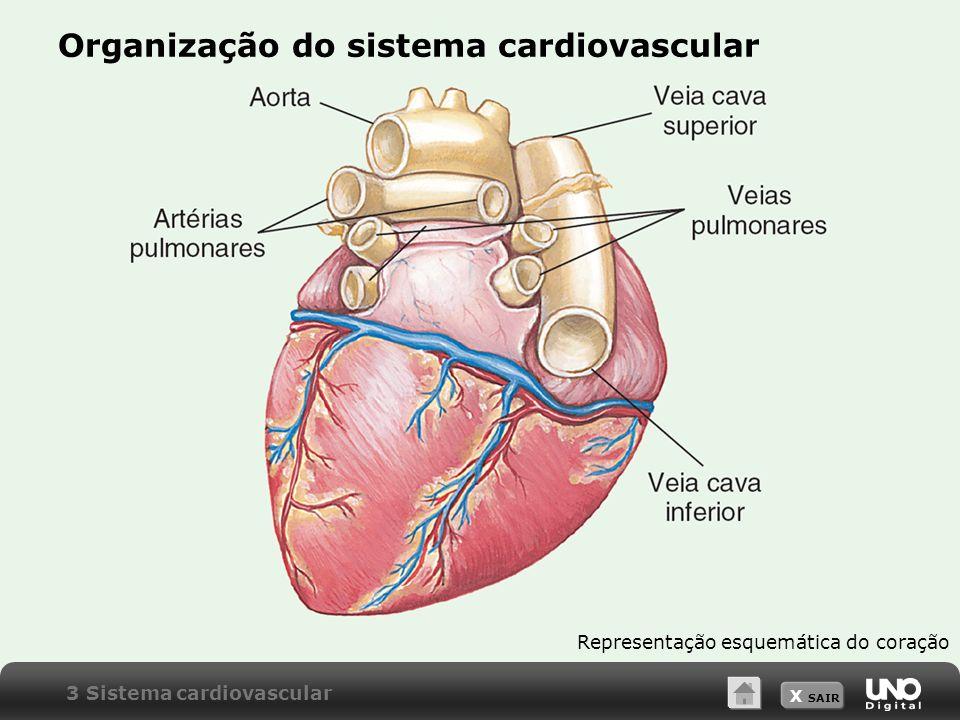 Organização do sistema cardiovascular