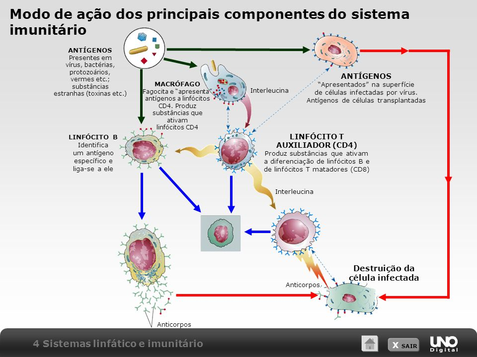 Modo de ação dos principais componentes do sistema imunitário
