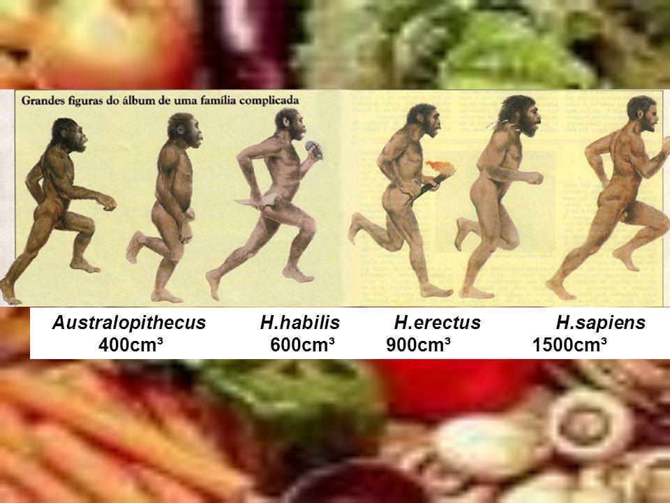 Australopithecus H.habilis H.erectus H.sapiens
