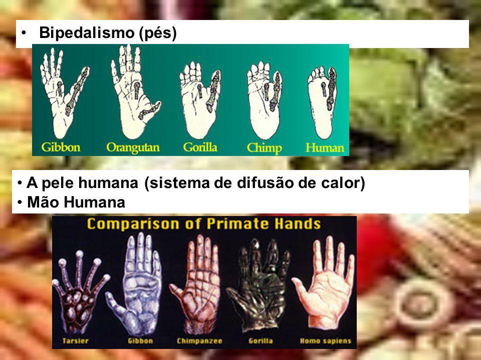 Bipedalismo (pés) A pele humana (sistema de difusão de calor) Mão Humana