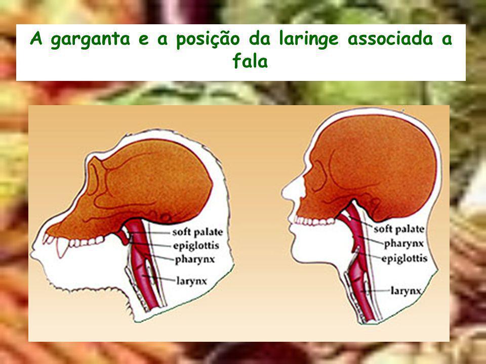 A garganta e a posição da laringe associada a fala