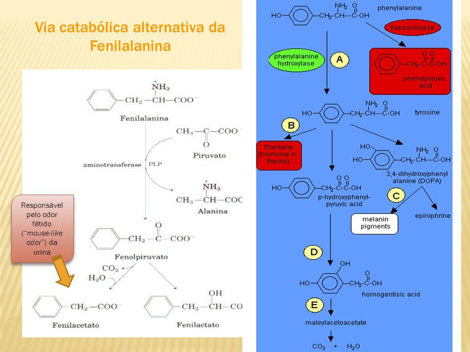 Via catabólica alternativa da Fenilalanina