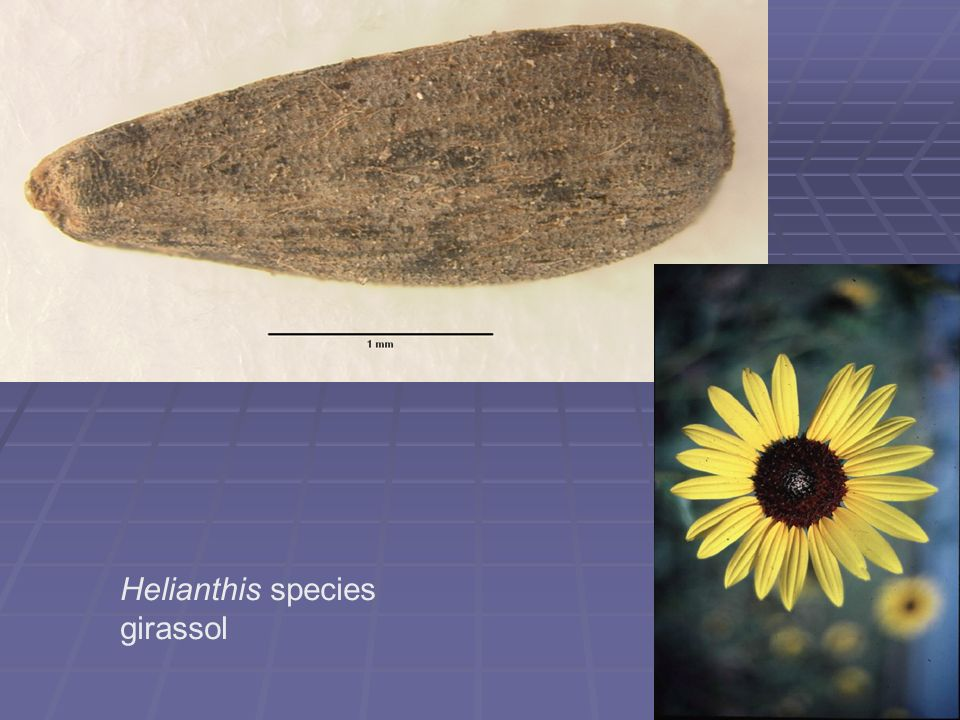 Helianthis species girassol