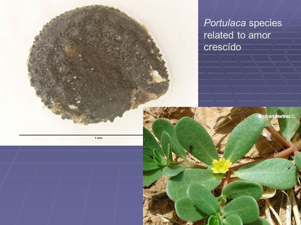Portulaca species related to amor crescído