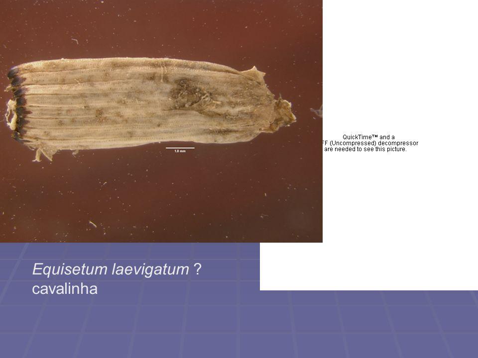 Equisetum laevigatum cavalinha
