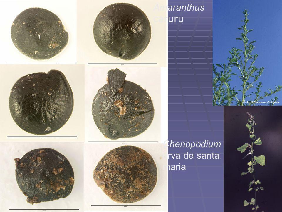 Amaranthus caruru Chenopodium erva de santa maria