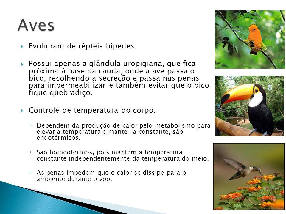 Aves Evoluíram de répteis bípedes.