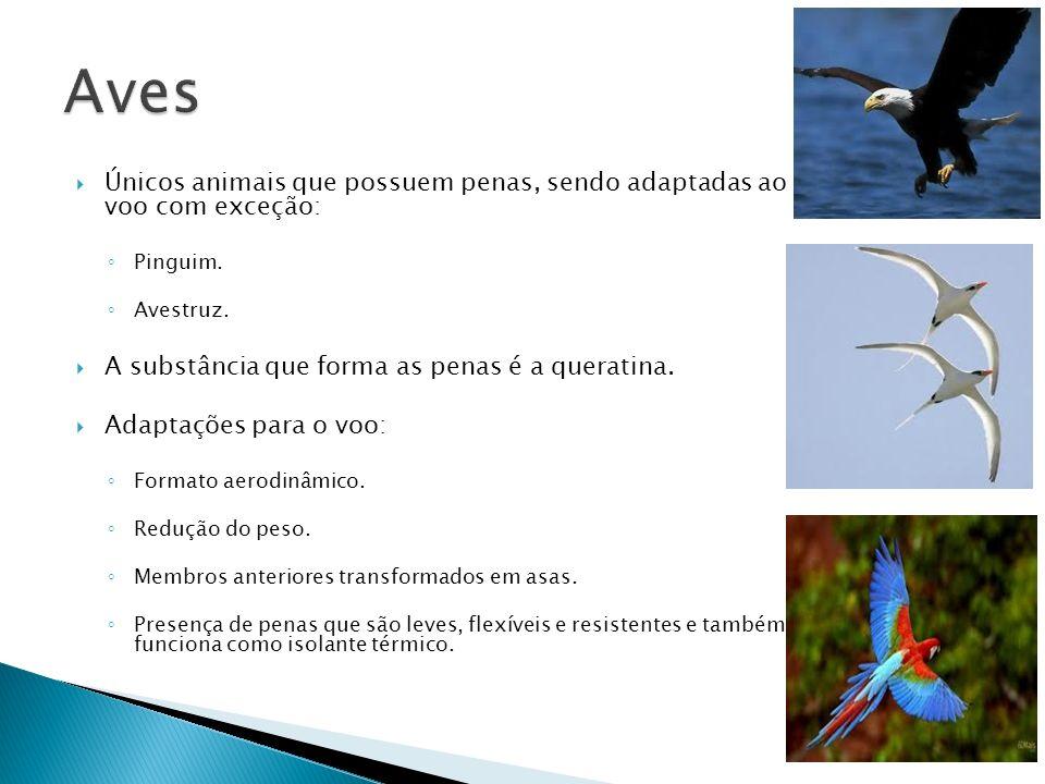Aves Únicos animais que possuem penas, sendo adaptadas ao voo com exceção: Pinguim. Avestruz. A substância que forma as penas é a queratina.