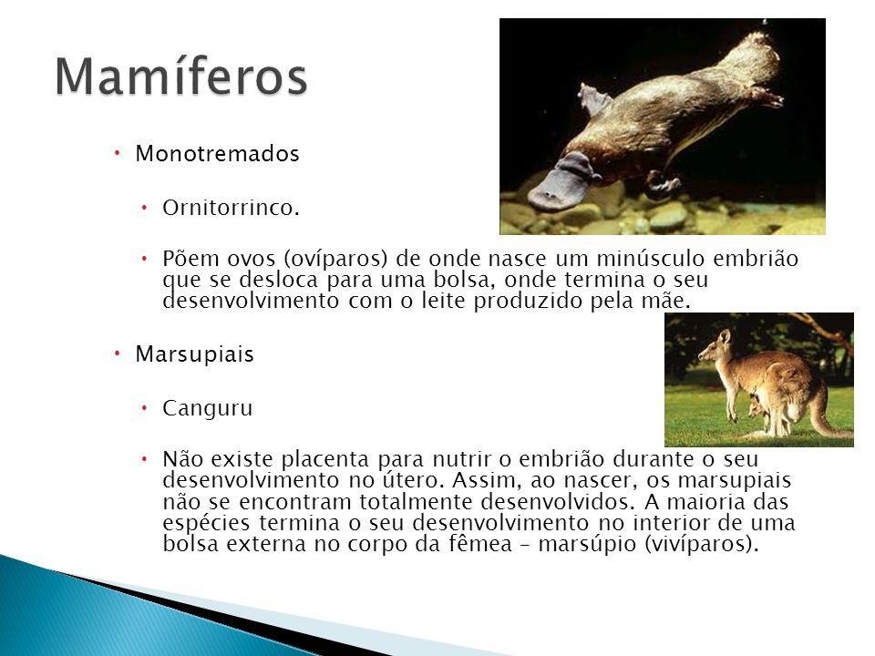 Mamíferos Monotremados Marsupiais Ornitorrinco.