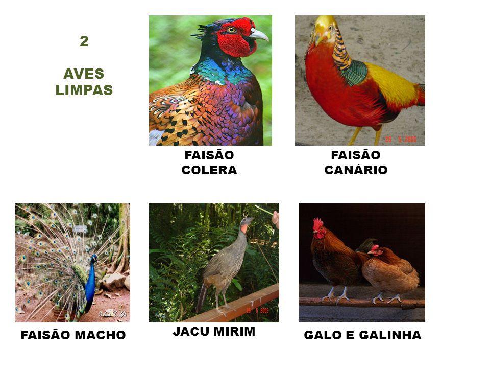 2 AVES LIMPAS FAISÃO COLERA FAISÃO CANÁRIO JACU MIRIM FAISÃO MACHO