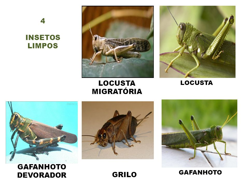 4 INSETOS LIMPOS LOCUSTA MIGRATÓRIA GAFANHOTO DEVORADOR GRILO LOCUSTA
