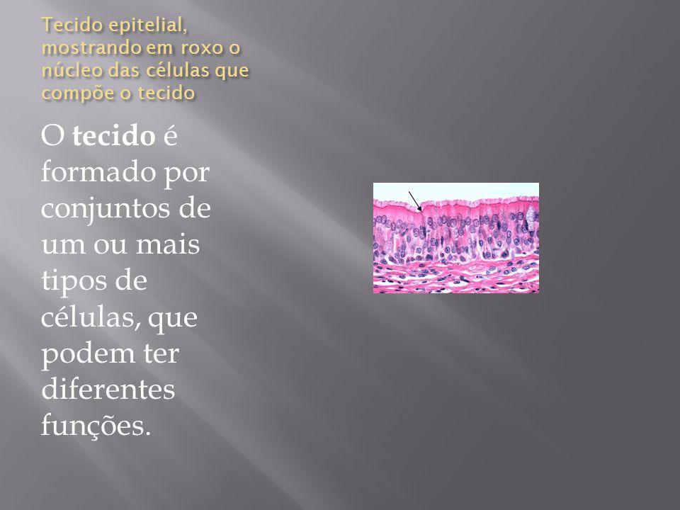 Tecido epitelial, mostrando em roxo o núcleo das células que compõe o tecido