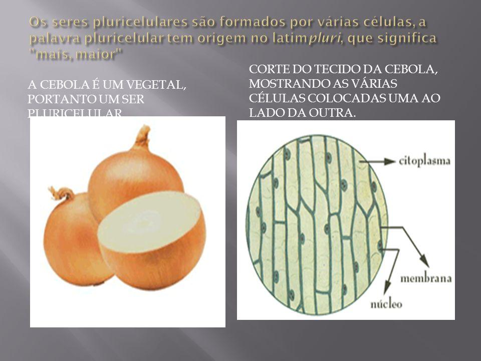 Os seres pluricelulares são formados por várias células, a palavra pluricelular tem origem no latimpluri, que significa mais, maior