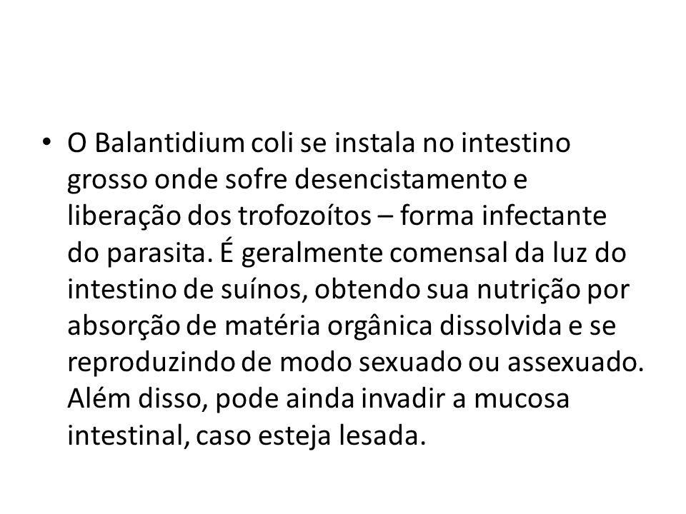 O Balantidium coli se instala no intestino grosso onde sofre desencistamento e liberação dos trofozoítos – forma infectante do parasita.