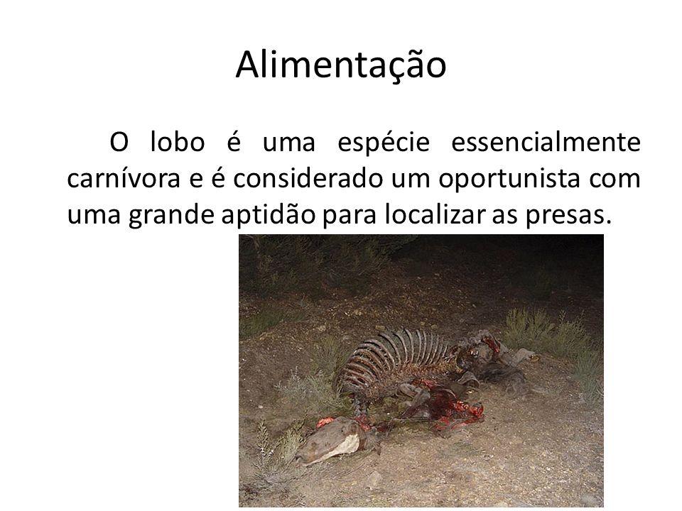 Alimentação O lobo é uma espécie essencialmente carnívora e é considerado um oportunista com uma grande aptidão para localizar as presas.