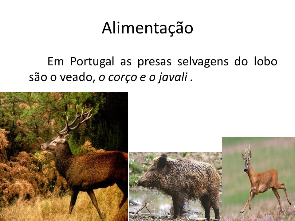 Alimentação Em Portugal as presas selvagens do lobo são o veado, o corço e o javali .