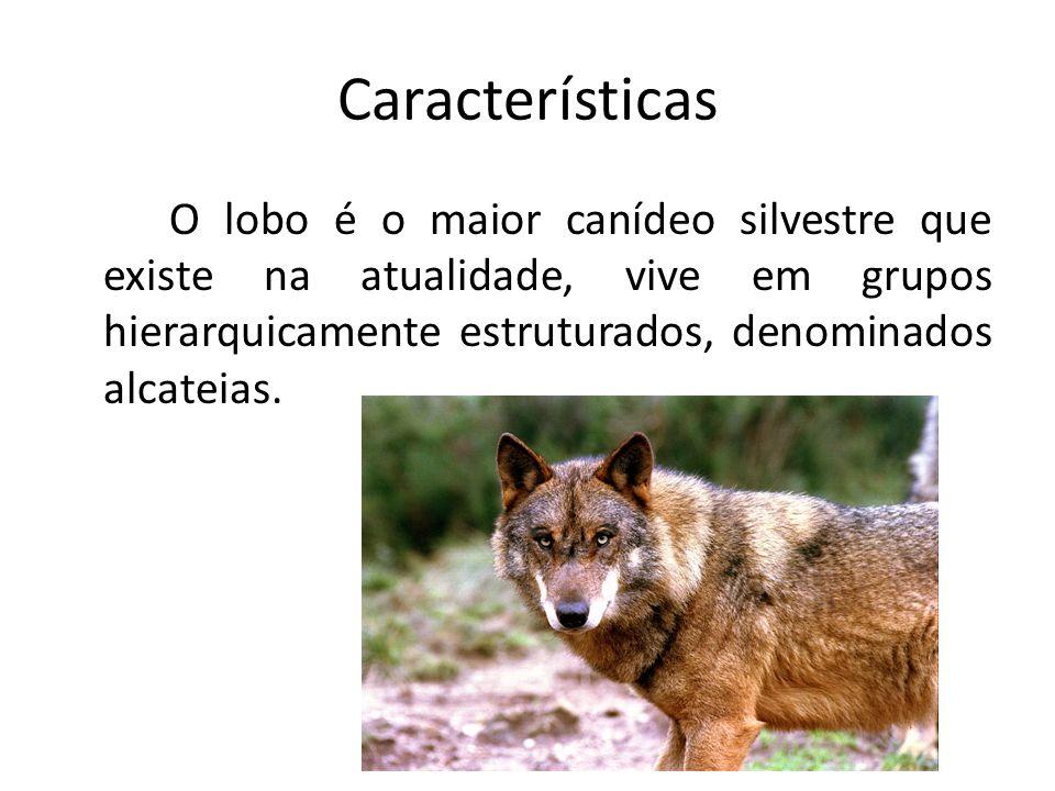 Características O lobo é o maior canídeo silvestre que existe na atualidade, vive em grupos hierarquicamente estruturados, denominados alcateias.