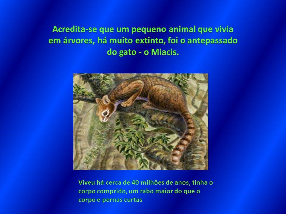 Acredita-se que um pequeno animal que vivia em árvores, há muito extinto, foi o antepassado do gato - o Miacis.