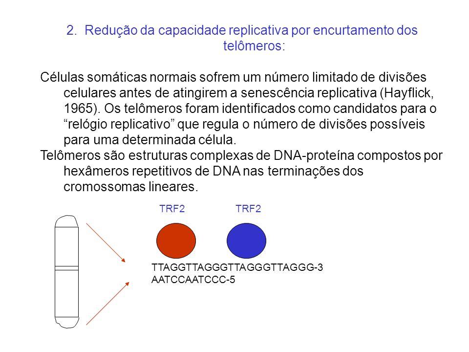 2. Redução da capacidade replicativa por encurtamento dos telômeros: