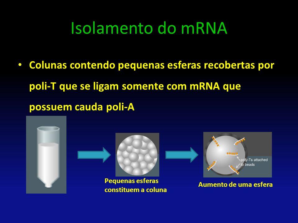 Isolamento do mRNA Colunas contendo pequenas esferas recobertas por poli-T que se ligam somente com mRNA que possuem cauda poli-A.