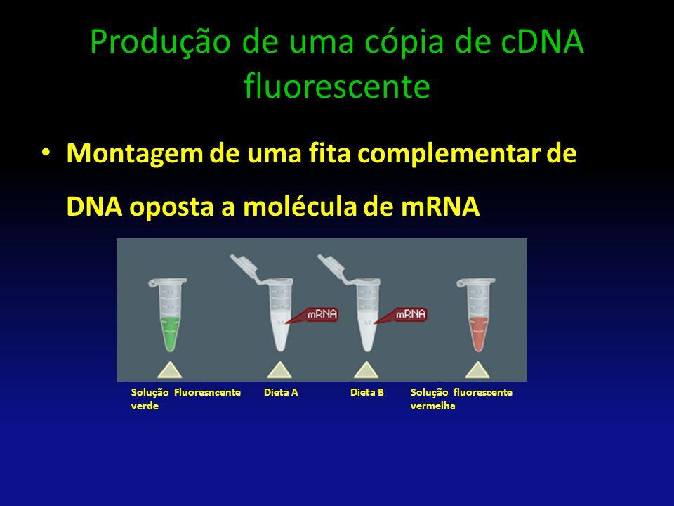 Produção de uma cópia de cDNA fluorescente