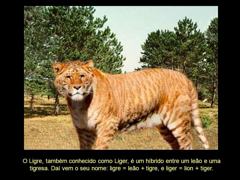 O Ligre, também conhecido como Liger, é um híbrido entre um leão e uma