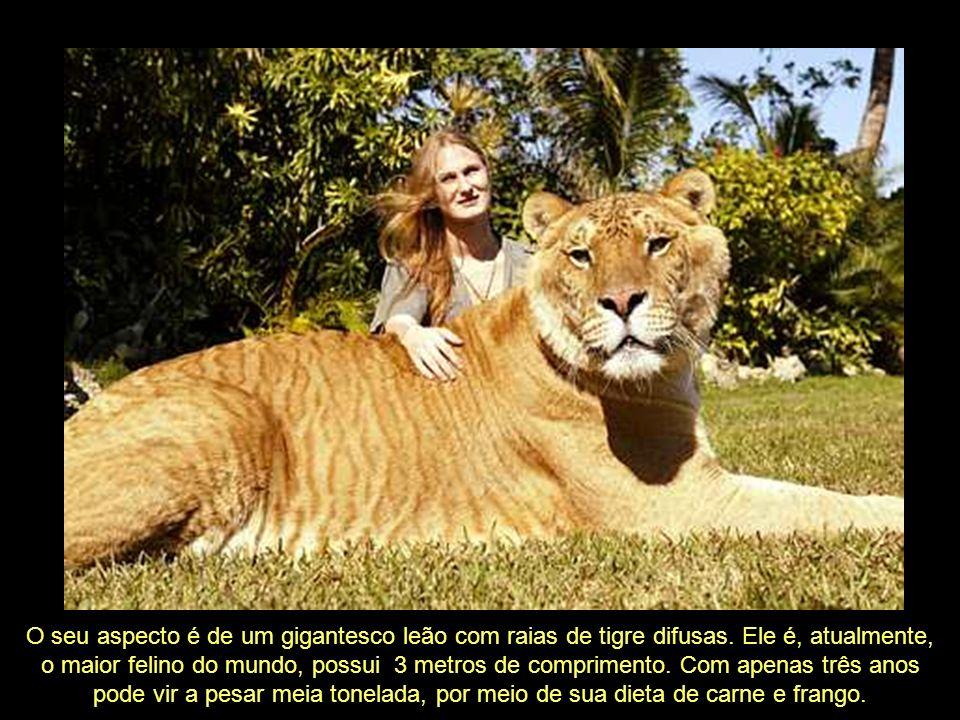 O seu aspecto é de um gigantesco leão com raias de tigre difusas