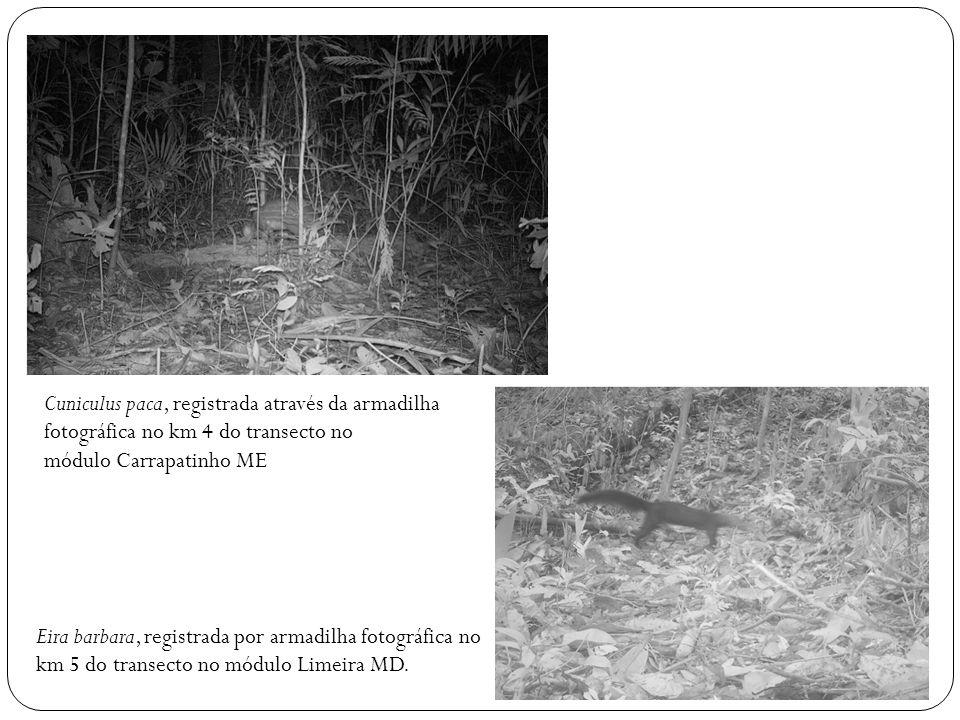 Cuniculus paca, registrada através da armadilha fotográfica no km 4 do transecto no