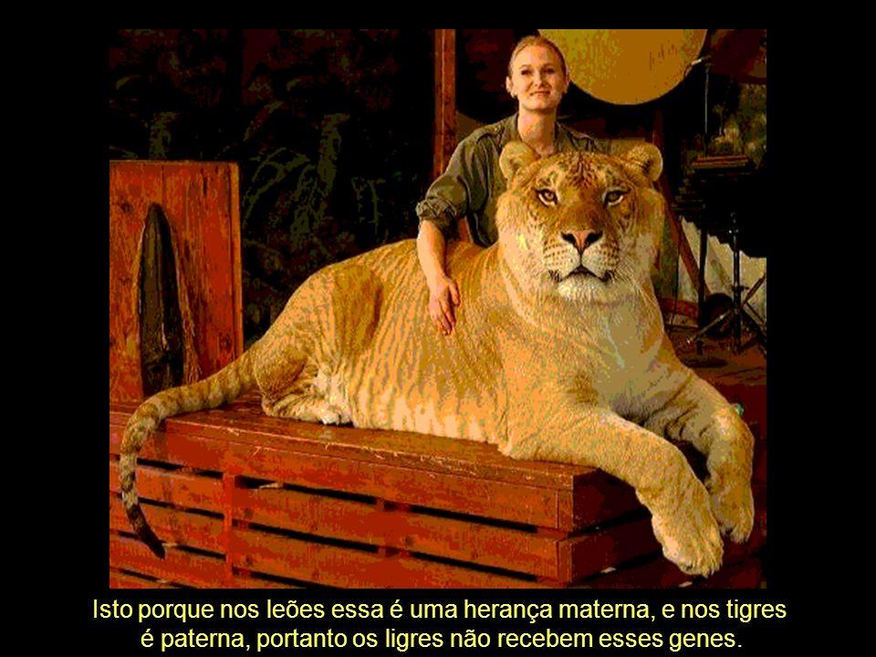 Isto porque nos leões essa é uma herança materna, e nos tigres