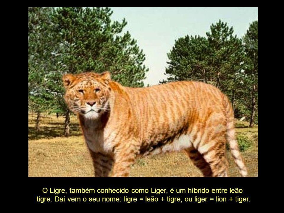 O Ligre, também conhecido como Liger, é um híbrido entre leão