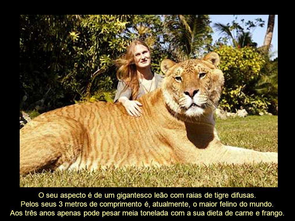 O seu aspecto é de um gigantesco leão com raias de tigre difusas.