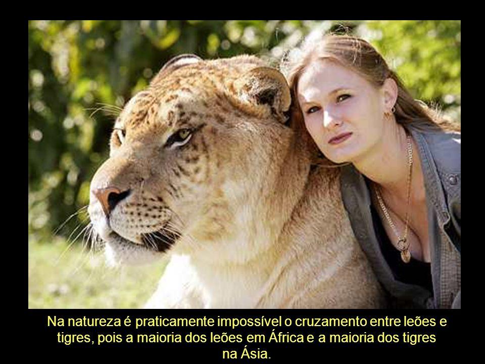Na natureza é praticamente impossível o cruzamento entre leões e
