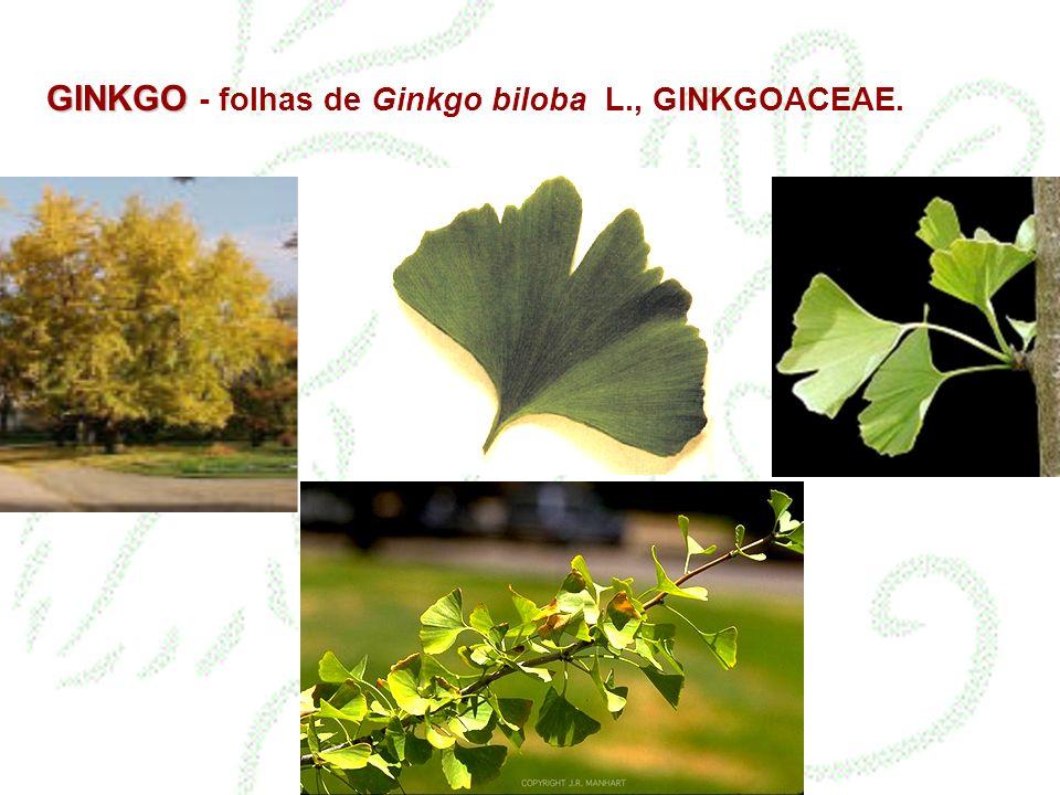 GINKGO - folhas de Ginkgo biloba L., GINKGOACEAE.