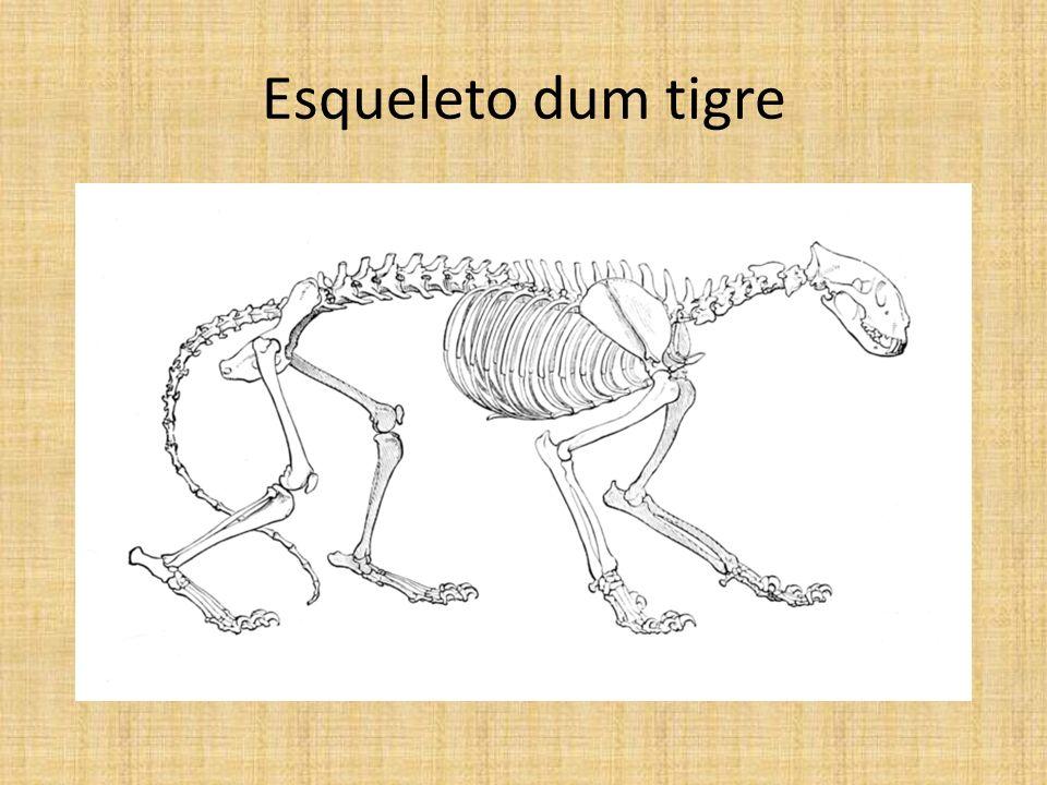 Esqueleto dum tigre