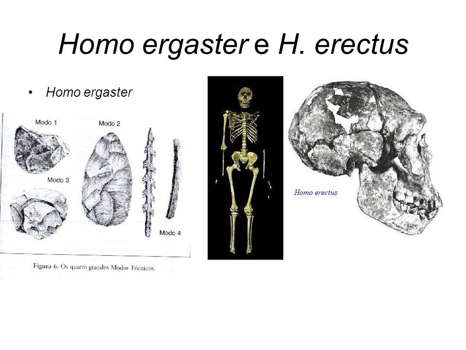 Homo ergaster e H. erectus
