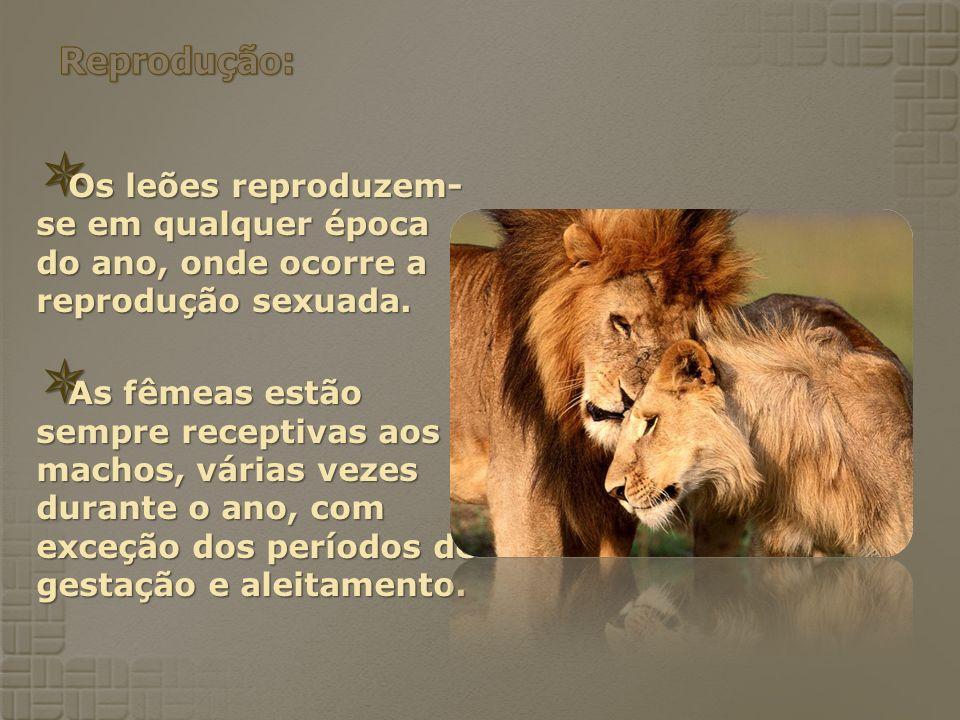 Reprodução: Os leões reproduzem-se em qualquer época do ano, onde ocorre a reprodução sexuada.