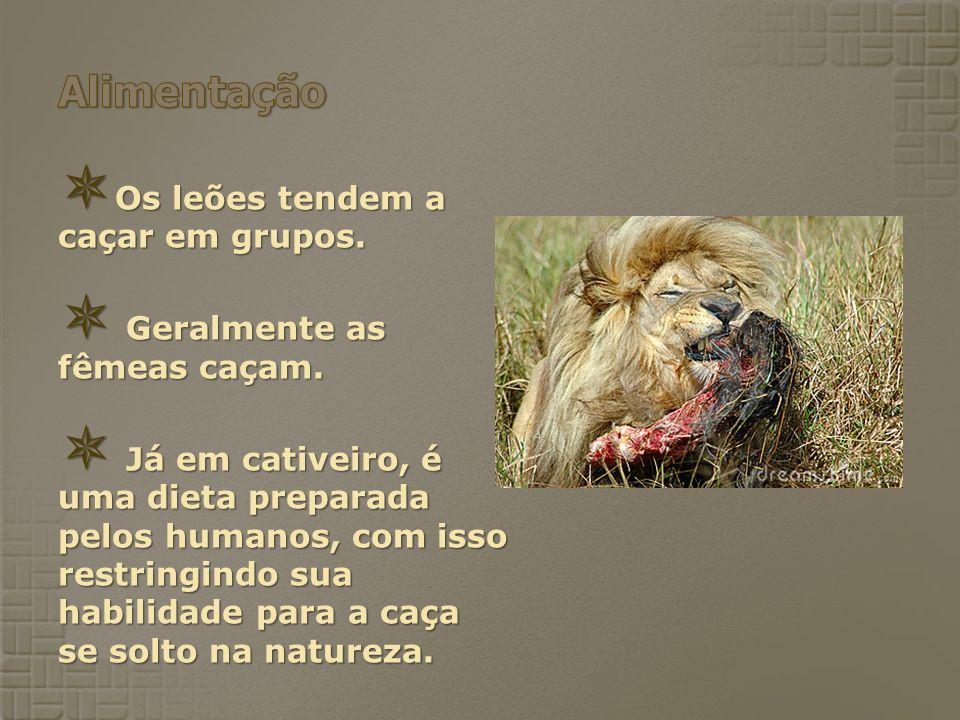 Alimentação Os leões tendem a caçar em grupos.