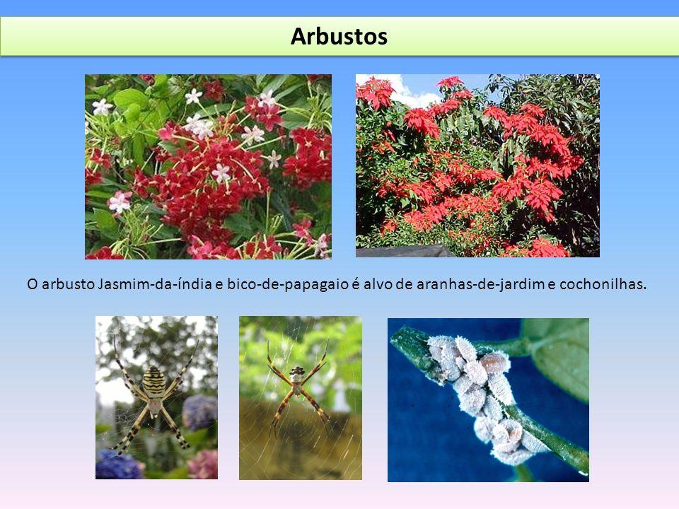 Arbustos O arbusto Jasmim-da-índia e bico-de-papagaio é alvo de aranhas-de-jardim e cochonilhas.