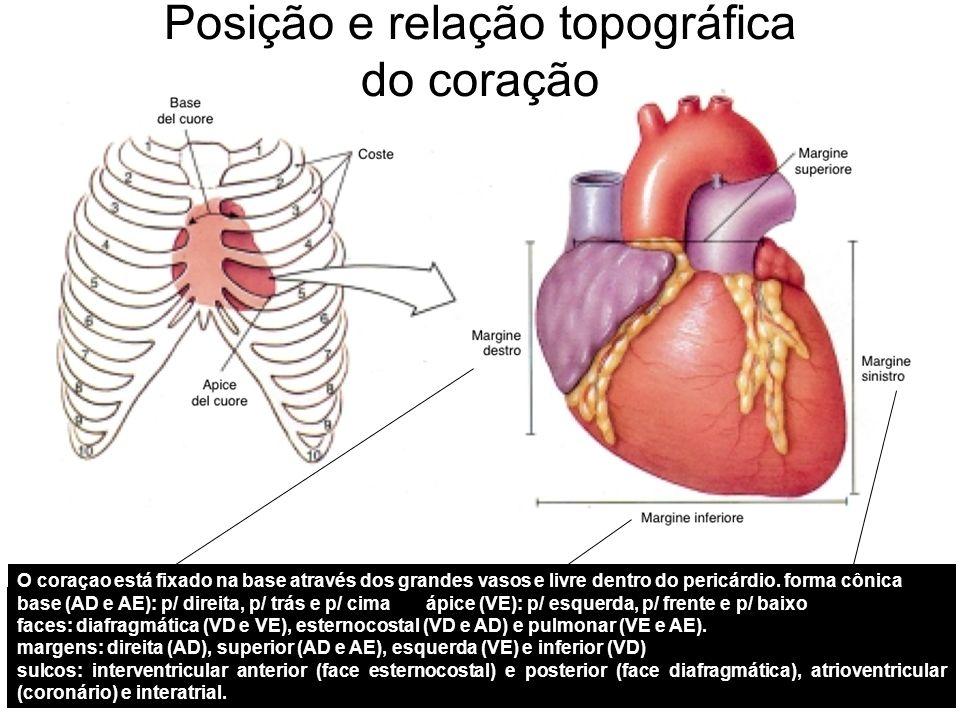 Posição e relação topográfica do coração