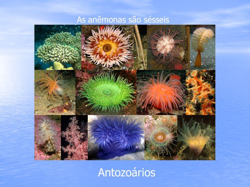 As anêmonas são sésseis