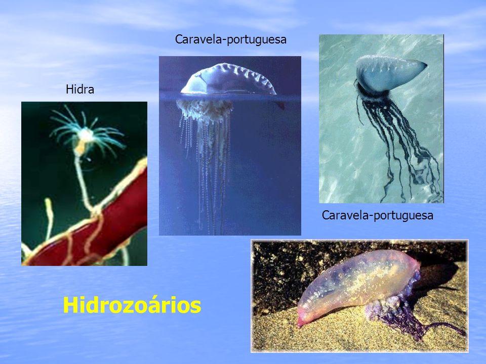 Caravela-portuguesa Hidra Caravela-portuguesa Hidrozoários