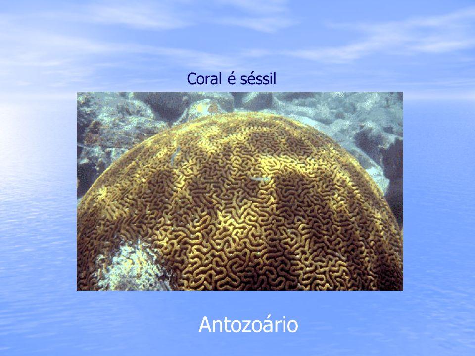 Coral é séssil Antozoário