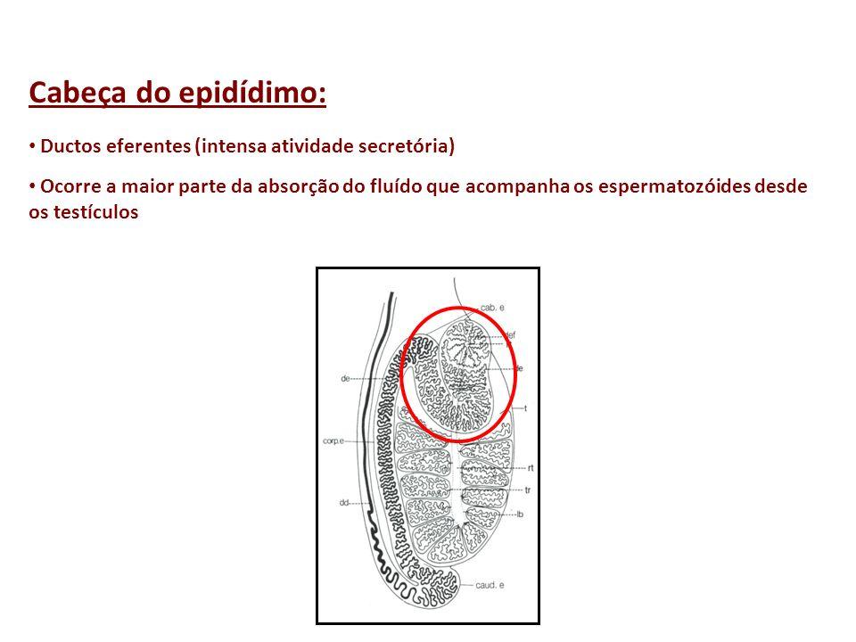 Cabeça do epidídimo: Ductos eferentes (intensa atividade secretória)