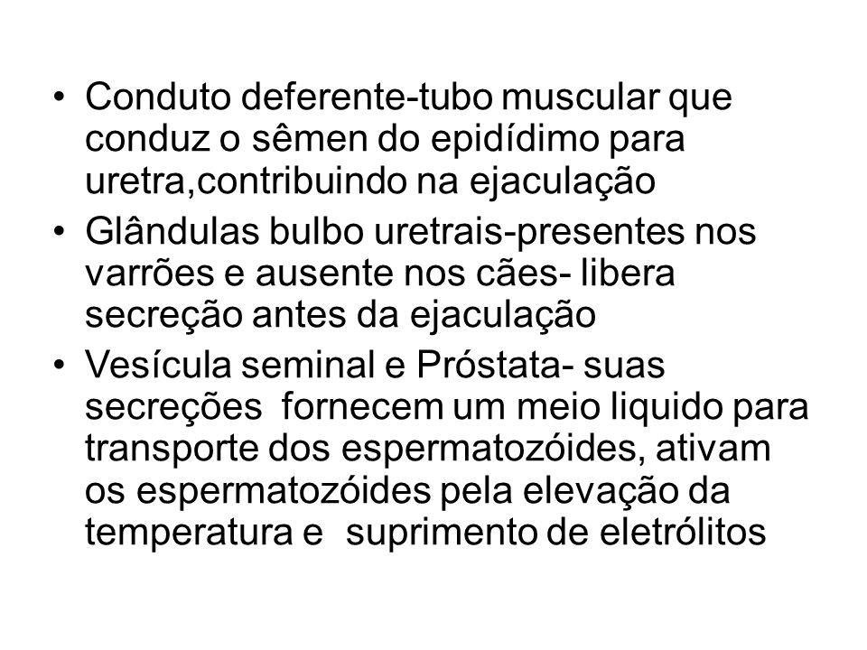 Conduto deferente-tubo muscular que conduz o sêmen do epidídimo para uretra,contribuindo na ejaculação